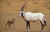 Arabian Oryx female and new born Saudi Arabia
