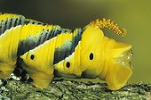Tail of the Caterpillar of Death's-head  Hawk-moth France