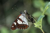 Southern White Admiral resting on stem France