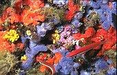 Tombant vertical couvert d'éponges Méditérranée Occidentale ; Eponges: Anchinoe tenacior (couleur bleu violette), Axinella damicornis (jaune), Crambe sp. (rouge). Au centre: algue Coralline rose (probablement Mesophyllum lichenoïdes ).