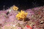 Sponges fixed on a coralligenous bottom Méditerranean Sea