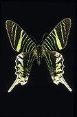 Urania Butterfly French Guyana