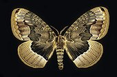 Butterfly Brahamaea China ; Wingspread: 125 mm