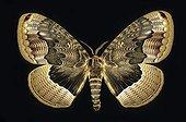 Papillon Brahamaea Chine ; Envergure: 125 mm