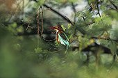 White-throated kingfisher on a branch Keoladeo NP India