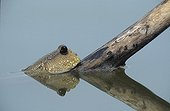Blue-spotted Mudskipper on a branch Malaysia ; Species associated with the mangrove.