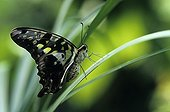 Tailed Jay  Butterfly Asia