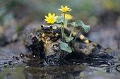 Speckled salamander in water France