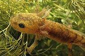 Larva of Speckled salamander eating of the algae France