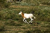 Scimitar-horned oryx in Souss-Massa National Park Morocco