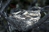 Young Long-tailed Triller in the nest New-Caledonia