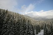 Snow covered Spruce forests in the High Tatras Slovakia ; Podbanske, in the Carpathes.