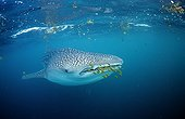 Requin baleine et poissons pilotes Djibouti Golfe d'Aden ; Dans le Golfe de Tadjourah. Golfe d'Aden.