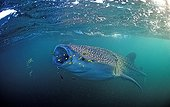 Whale shark with yellow pilot fishes Djibuti Gulf of Aden ; In the Gulf of Tadjourah. <br>@ Gulf of Aden <br>