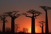 Baobab trees at sunset near Morondava Madagascar