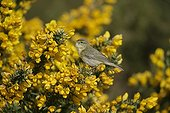 Willow warbler on a shrub in blossom United-Kingdom