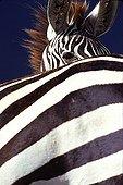 Portrait de Zèbre de Grant Tanzanie