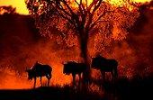 Blue wildebeest Kalahari Gemsbok Southern Africa