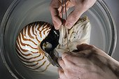 Dissection of a nautilus for an instructional model ; From the time he was very young, he has dissected, sketched an sculpted<br/>everything he notices during his hikes. While completing studies in biology,<br/>he worked on perfecting his moulding and painting techniques. Today he serves<br/>art and natural history museums by restoring collections or making educational<br/>moulds and models. First he sculpts and models the subject. With the help of<br/>elastomers an resins, he then casts his creation. Next comes the most delicate<br/>phase : giving the animal or plant realistic, lifelike colors.<br/>Various techniques used in modeling.<br/><br/>