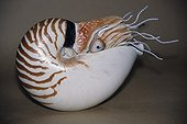An airbrushed patina of a model of a nautilus shell ; From the time he was very young, he has dissected, sketched an sculpted<br/>everything he notices during his hikes. While completing studies in biology,<br/>he worked on perfecting his moulding and painting techniques. Today he serves<br/>art and natural history museums by restoring collections or making educational<br/>moulds and models. First he sculpts and models the subject. With the help of<br/>elastomers an resins, he then casts his creation. Next comes the most delicate<br/>phase : giving the animal or plant realistic, lifelike colors.<br/>Various techniques used in modeling.<br/><br/>