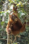 "Young Orang-utang in the trees Borneo Indonesia  ; Wildlife Photographer of the Year 1996<br>Catégorie ""Gerald Durrell Award"" (animaux en danger) - Highly commended"
