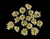 Top shot of an Hogweed Umbel ; The leaves are used in homeopathy as digestive and sedative. The root contains psoralene against psoriasis.