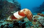 Reef cuttlefish Indian Ocean Bali Indonesia