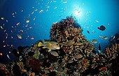 Yellow-ribbon sweetlips and coral reef Indian Ocean Bali
