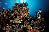 Scuba diver and ribbon sweetlips Indian Ocean Bali