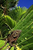 Humphead Forest Dragon Papua New Guinea