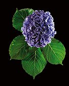 Top shot of a French Hydrangea's Inflorescence  ; Flower color is determined by the soil pH. In acid soils the flowers will be blue. In neutral or alkaline medium soil, the flowers will be pink, white or pale green.