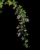 Branch of Bluecrown passionflower in bloom