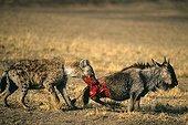 Hyène tachetée attaquant un Gnou blessé Kenya
