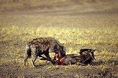 Hyène tachetée mangeant un Gnou Kenya