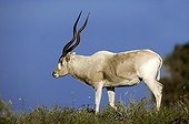 Addax in the Souss-Massa National Park Morocco ; Reintroduced to Morocco