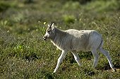Young Addax in the Souss-Massa NP Morocco ; Reintroduced to Morocco