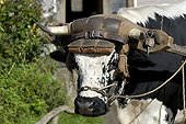 Portrait of a vosgienne ox Ecomuseum of Alsace France