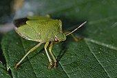 Green shield bug on a leaf France
