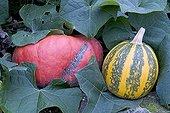 Potiron rouge d'Etampes et Courgette ronde de Nice France ; Exploitation agricole Oh! Légumes oubliés