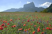 Field of Corn poppies ahead of Mount Aiguille Vercors France