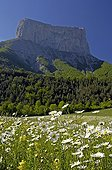 Field of Oxeye daisies ahead of Mount Aiguille Vercors