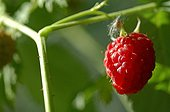 Large plan of a raspberry