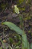 Orchis intact en fleur Madère Portugal
