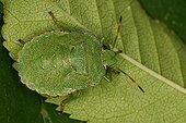 Green shield bug under a leaf Belgium ; In the north of the commune of Evere: Moeraske Natural Reserve.