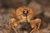 Portrait of Weevil Carla Bayes Ariège France ; @ Weevil (Balanus sp.)