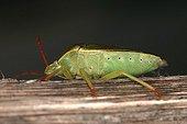 Green shied bug Sieuras Ariège France