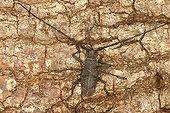 Longicorn beetle posed on bark Sieuras Ariège France