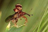Weevil flying away Sieuras Ariège France