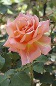 Rose 'Albert Gilles' à la Roseraie de L'Haÿ-les-Roses ; Obtenteur : Mallerin , 1943
