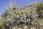 Clump of Sea Holly on sand dunes England ; At Woolacombe, in the Devon.